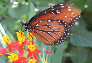 Texas Backyard Naturalist Monarch Butterfly