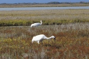 North Texas Ramblings Whooping Crane